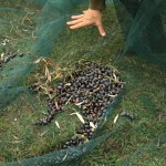 Olive Harvest, Tuscany Umbria Border