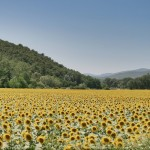 Sunflowers Tuscany Umbria Border