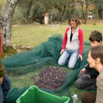 Gathering the olives in the net