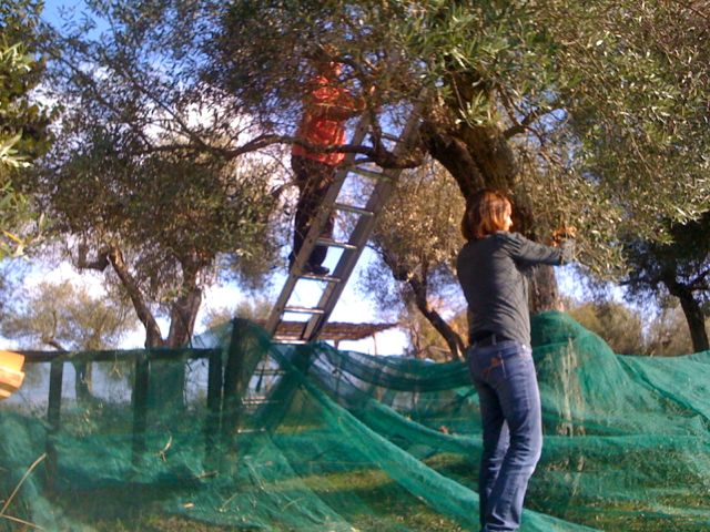 Harvesting olives on the Tuscany Umbria border
