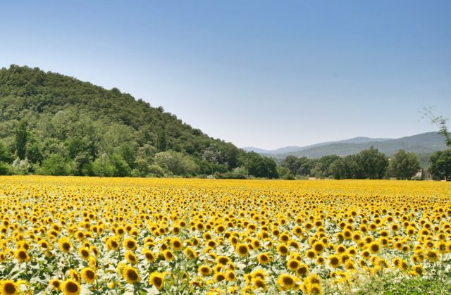 A field of sunflowers in the Niccone Valley