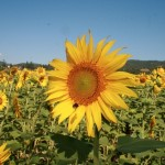 A Sunflower In The Niccone Valley