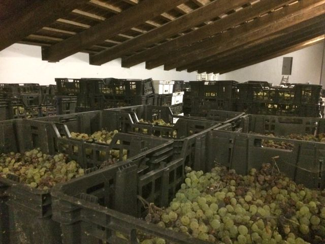 Grapes drying indoors to make vin santo