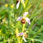 A bee orchid in the meadow at Ca di Bracco