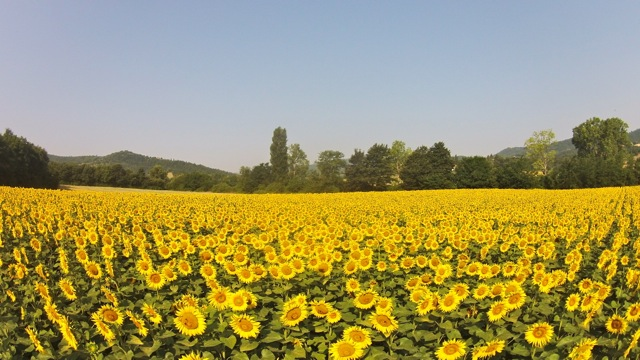 Sunflowers in the Niccone Valley