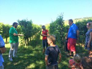 In the vineyard at the Mezzetti winery near Lake Trasimeno, Umbria, Italy